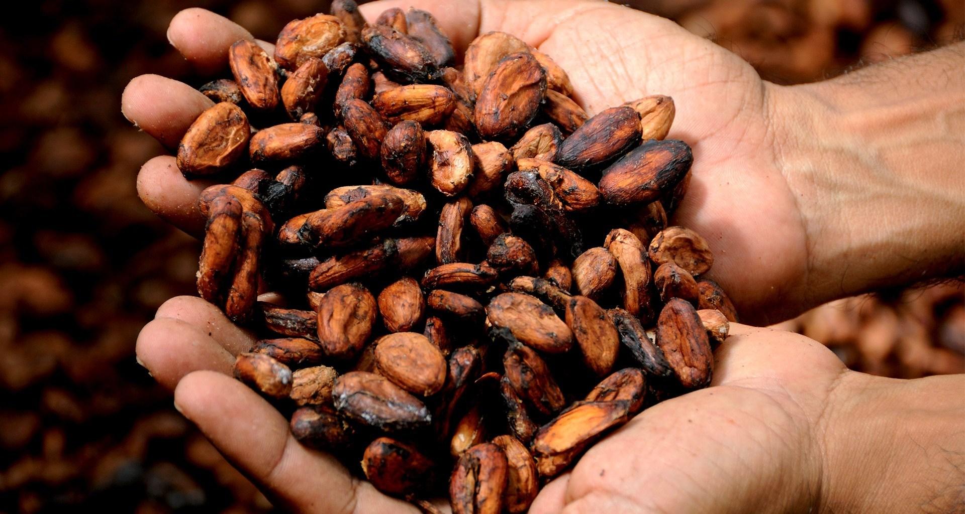 Compuestos del cacao resultan útiles para elaborar fármacos contra enfermedades esqueléticas
