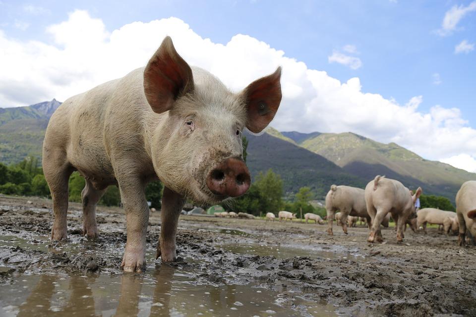El movimiento ecologista aumenta el pulso contra las 'macrogranjas' en la provincia