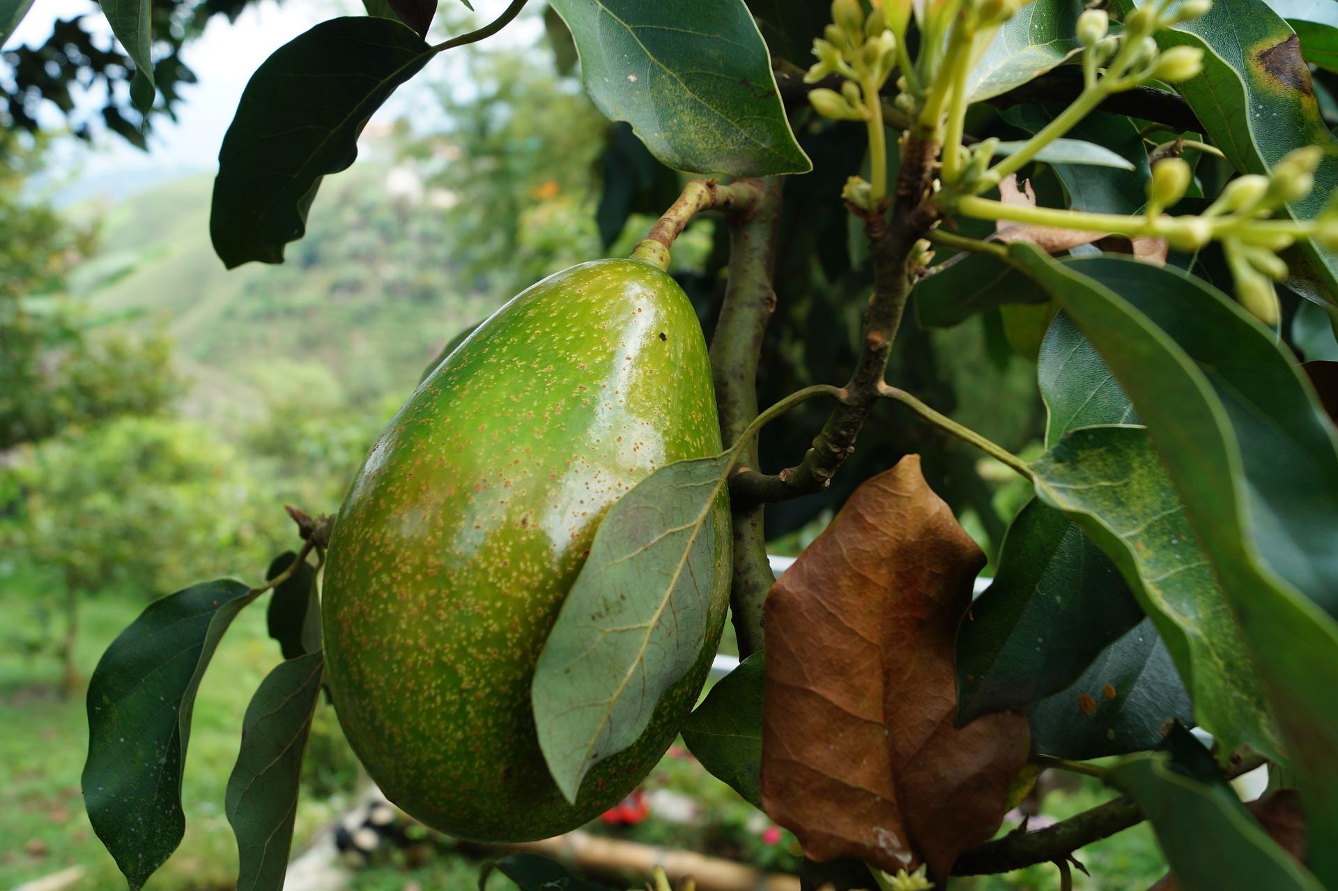 Granada, potencia andaluza en la exportación de frutas subtropicales