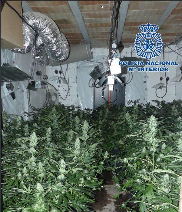 Intervienen más de 260 plantas de marihuana en dos invernaderos ocultos en una casa en construcción