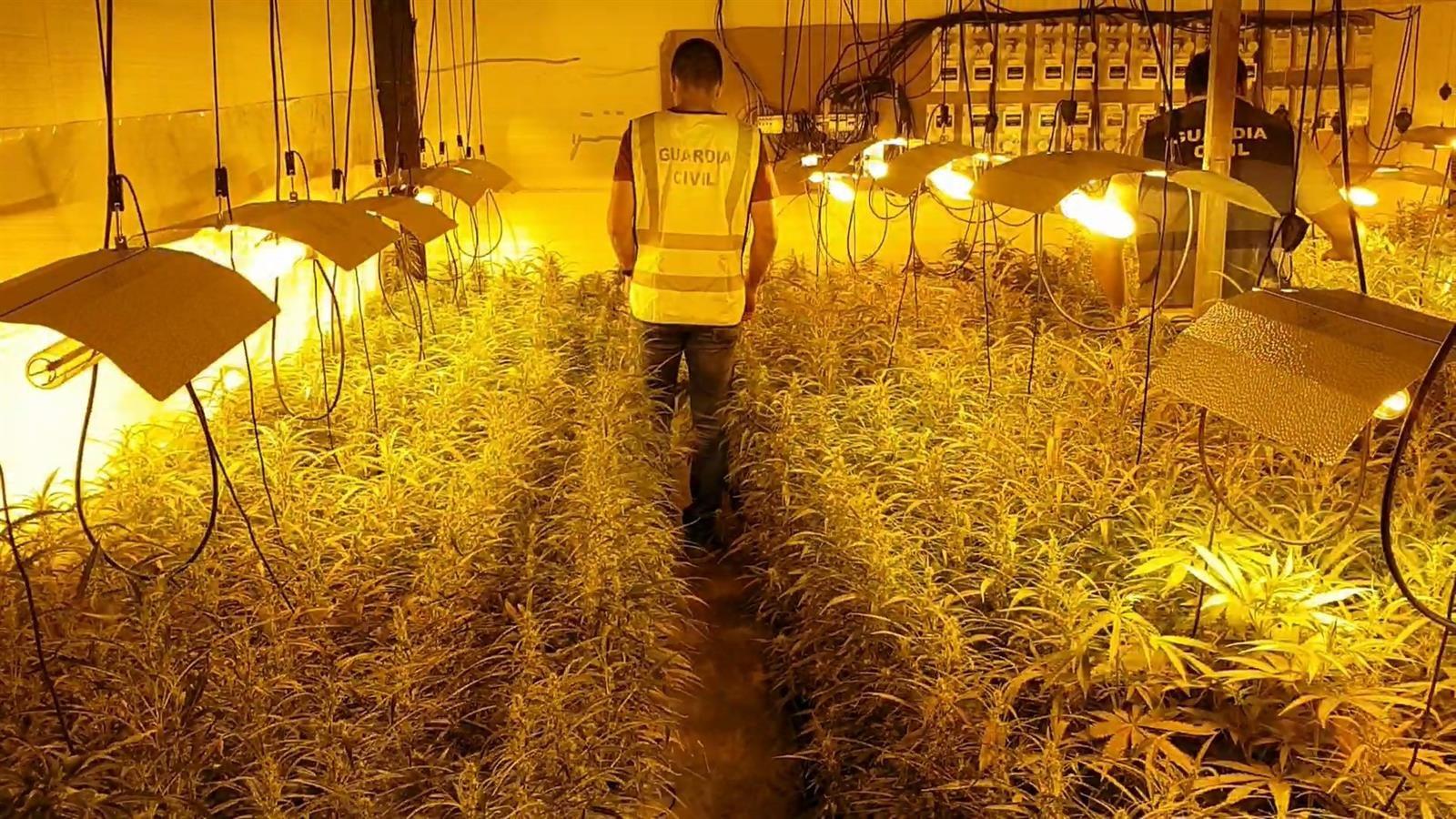 Intervenidas más de 1.300 plantas de marihuana en Chauchina y Atarfe