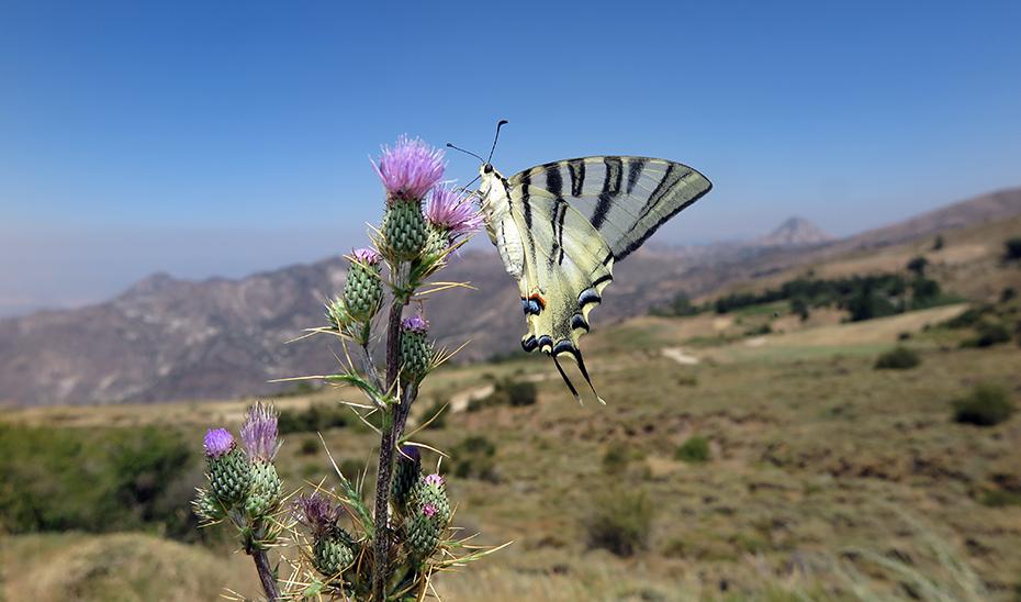 Las mariposas de Sierra Nevada «analizan» el cambio climático