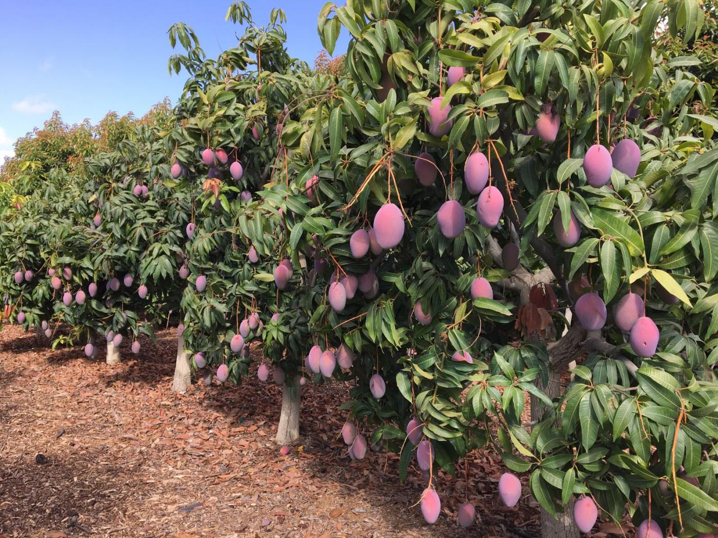 Detenida por robar 2.500 kilos de mangos en Salobreña