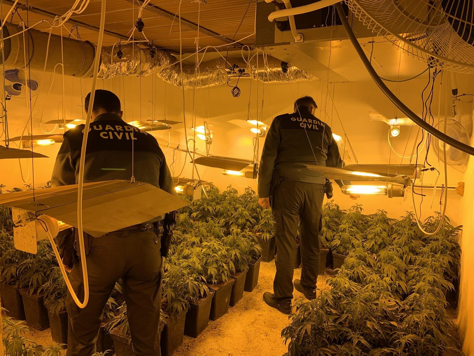 Intervenidas casi 4.000 plantas de cannabis sativa en los últimos diez días