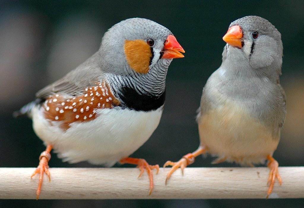 Secuencian por primera vez un cromosoma presente desde hace decenas de millones de años en los pájaros cantores