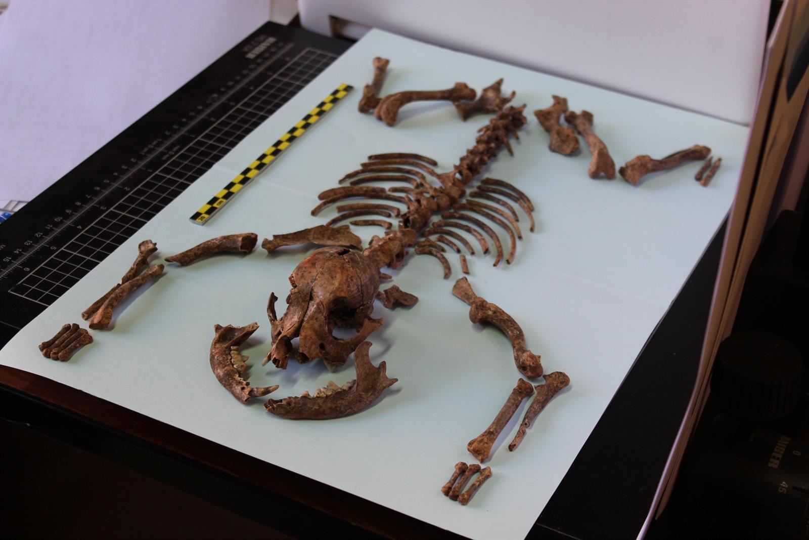 Los romanos tenían perros miniatura como animales de compañía