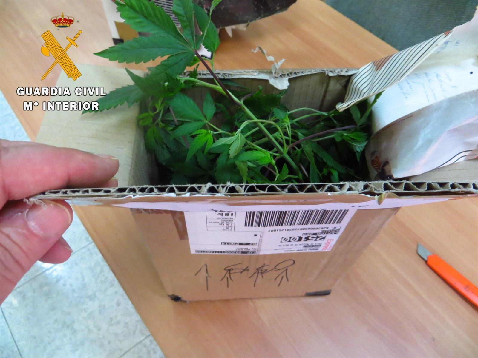Descubren envíos de plantas de marihuana a través de paquetes postales