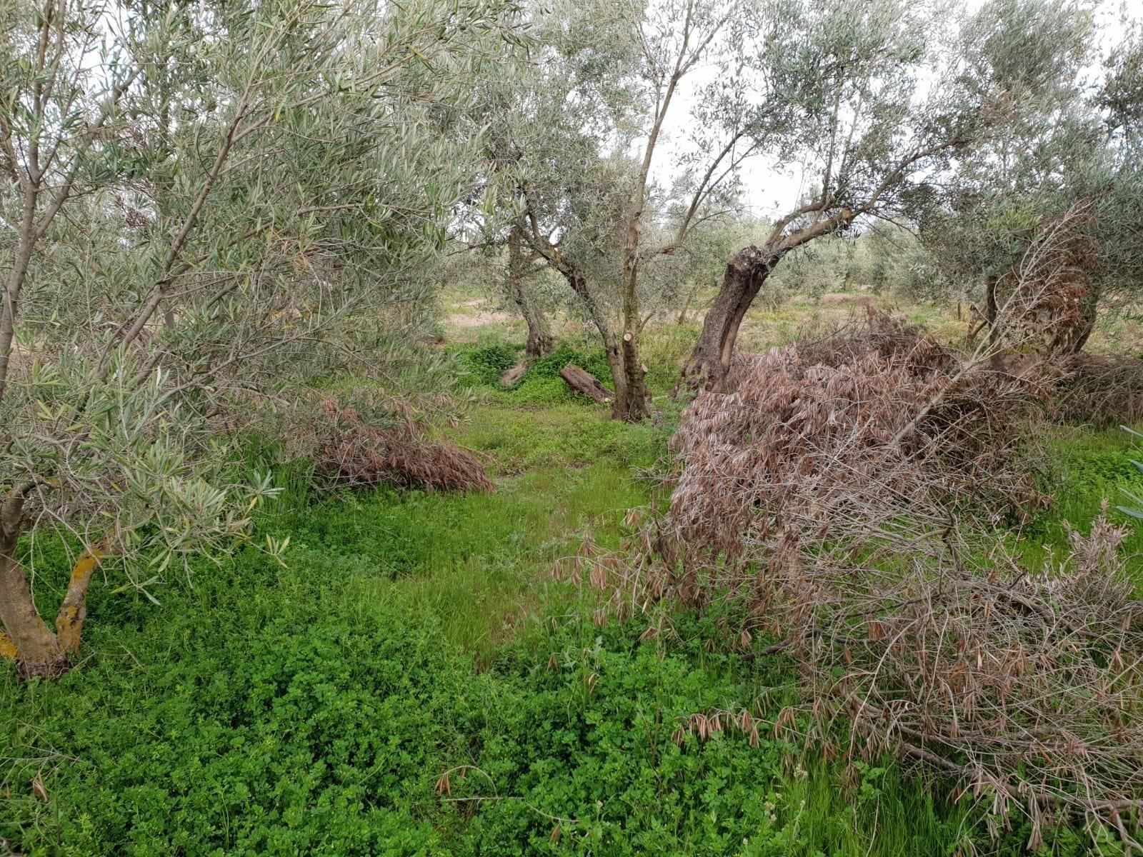 Los agricultores piden a la Junta que vigile el abandono de restos de poda del olivar