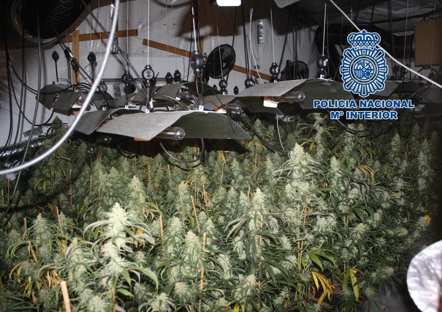 Intervenidas dos plantaciones de marihuana con 1.100 plantas y más de 14 kilos de cogollos