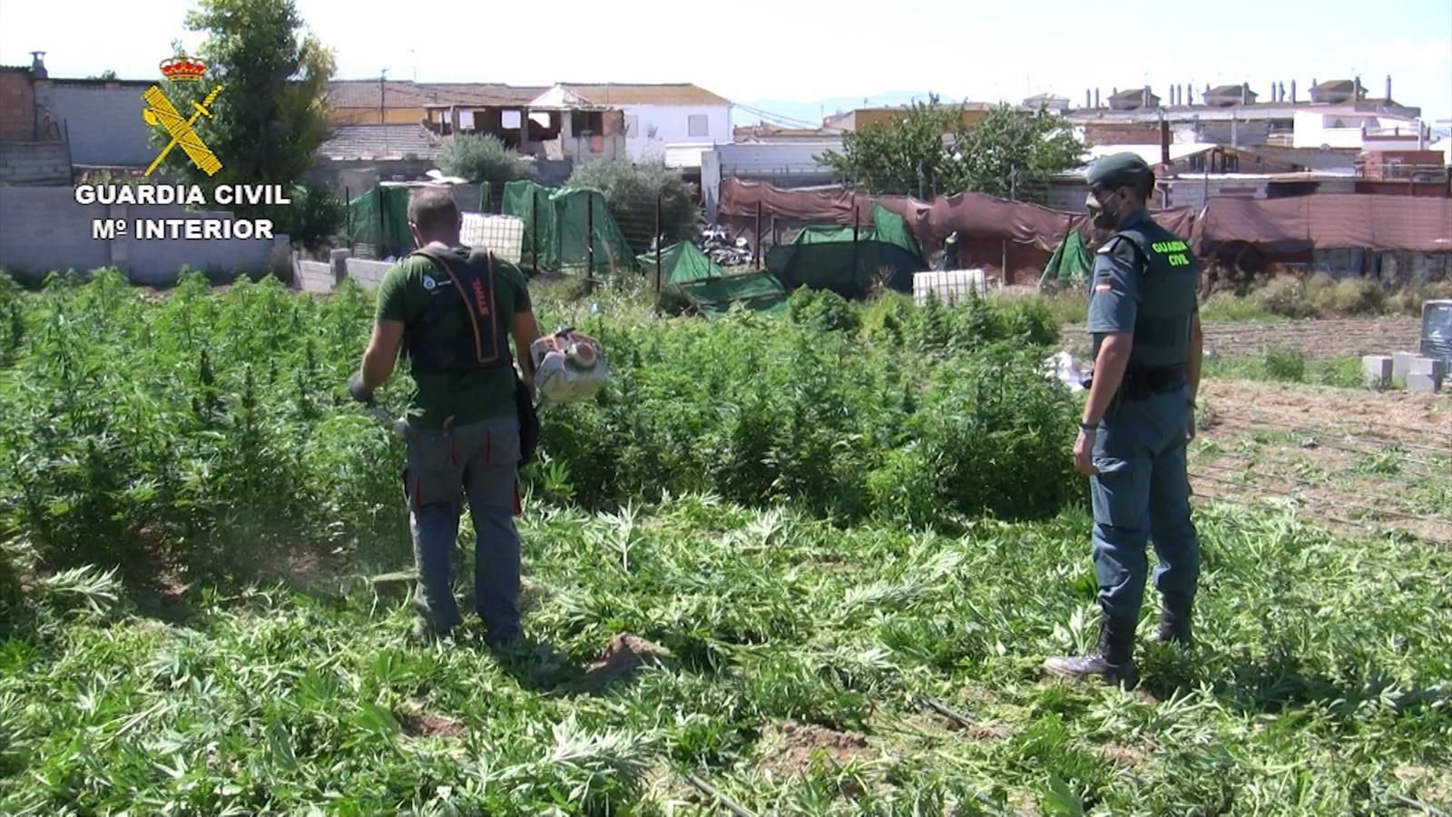 Intervenidas 15.250 plantas de cannabis en una macrooperación antidroga en Atarfe