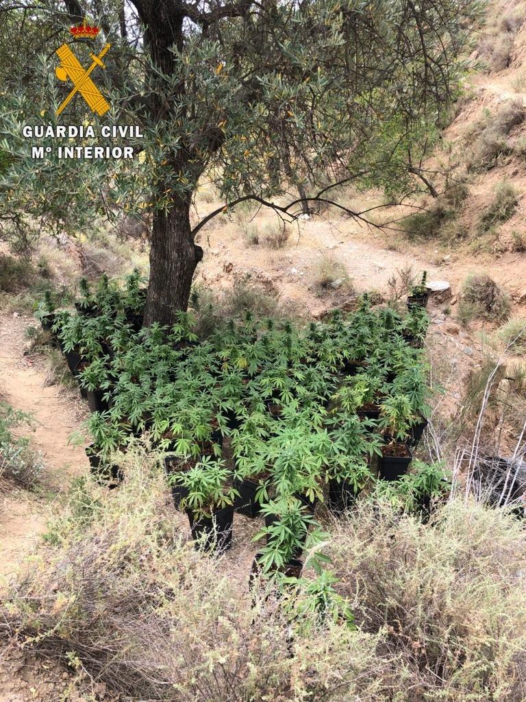Cuatro detenidos tras descubrirse dos plantaciones de marihuana al aire libre en Ugíjar y Turón