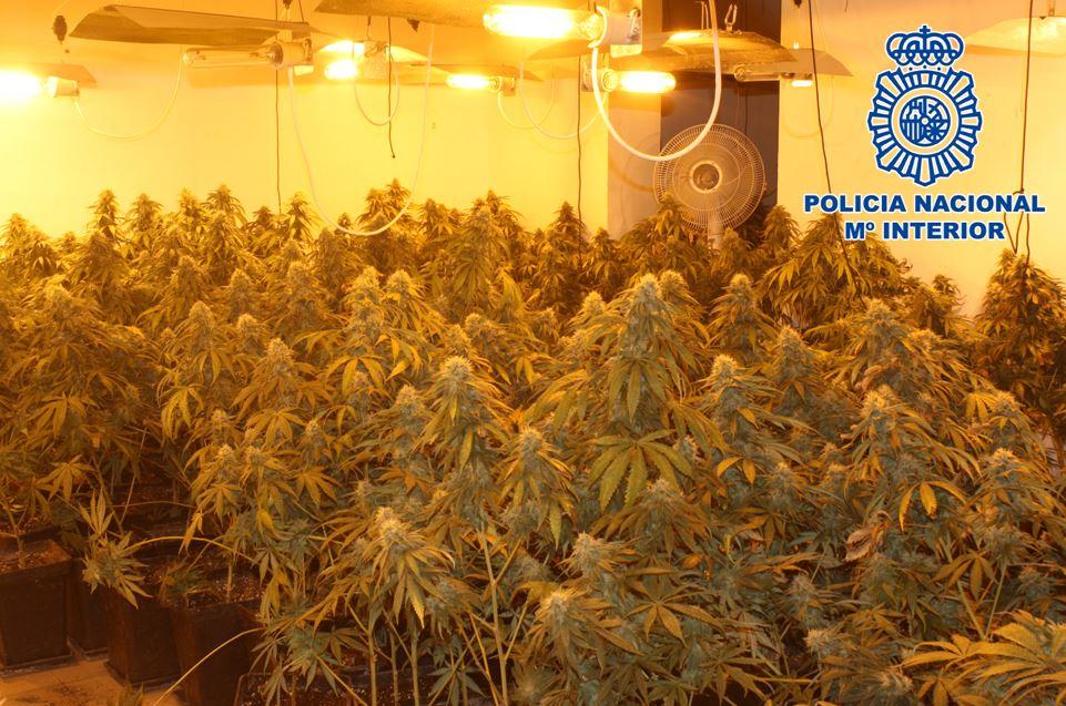 Intervenidas más de 400 plantas de marihuana y 25 kilos de cogollos ya recolectados en la zona norte