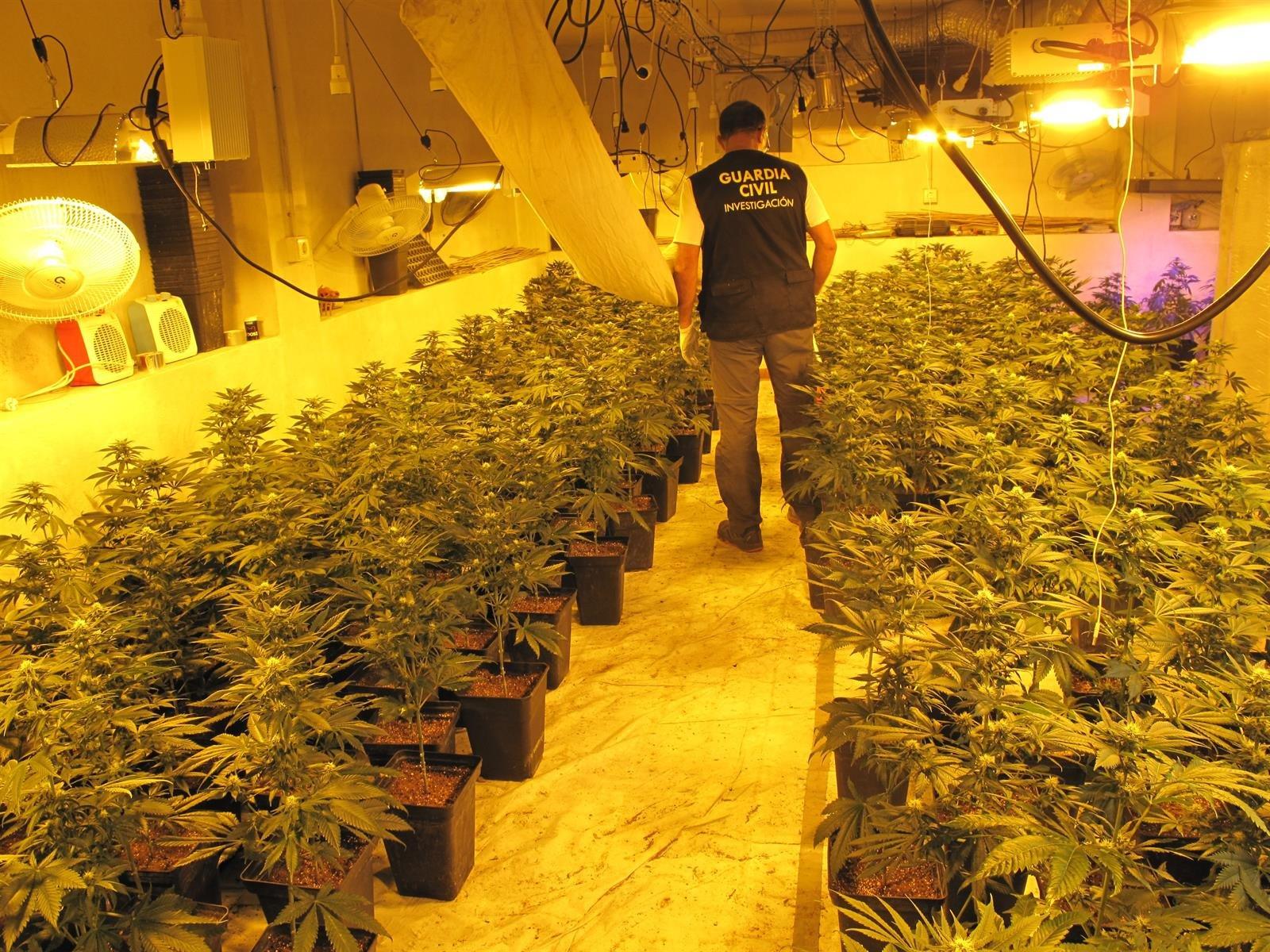 La Guardia Civil interviene 430 plantas de cannabis cultivadas en viviendas de cinco municipios