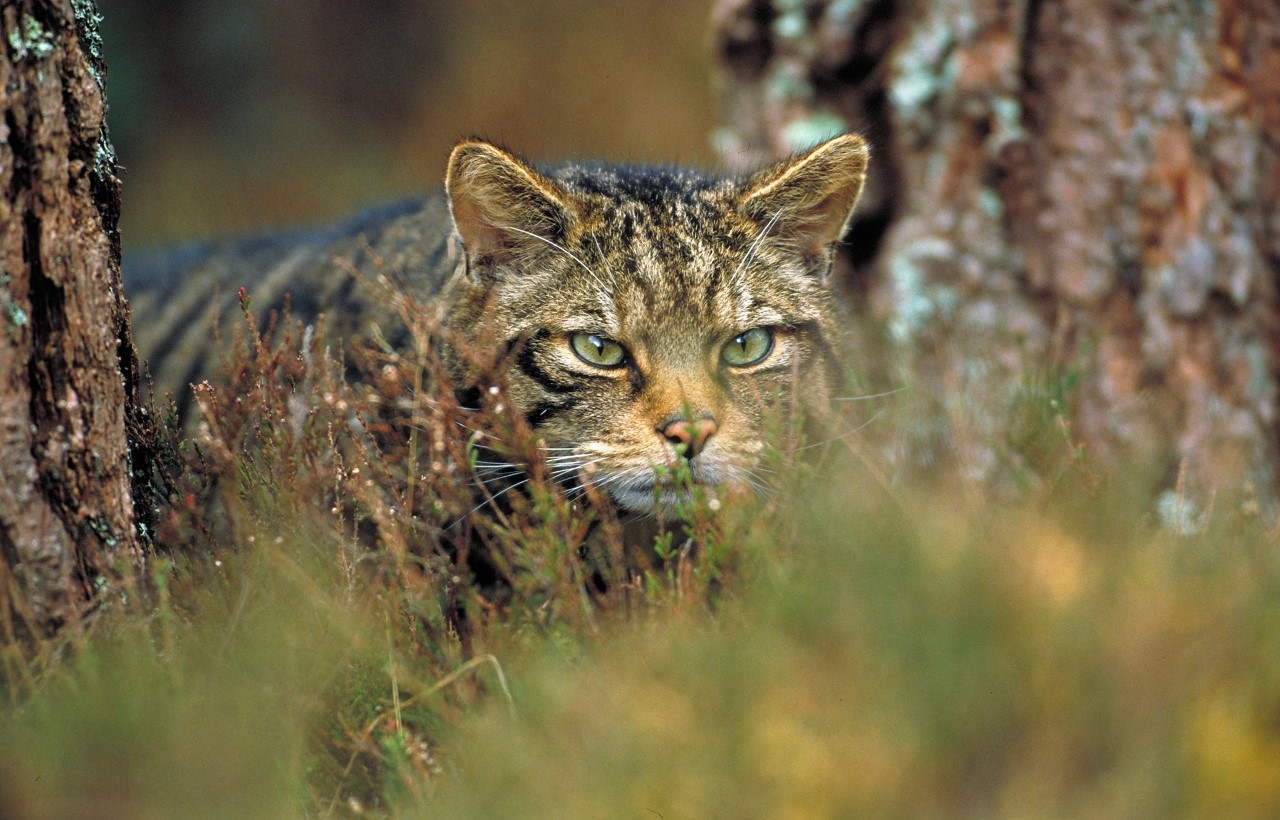 Andalucía asesora en el programa de cría en cautividad del gato montés de Escocia