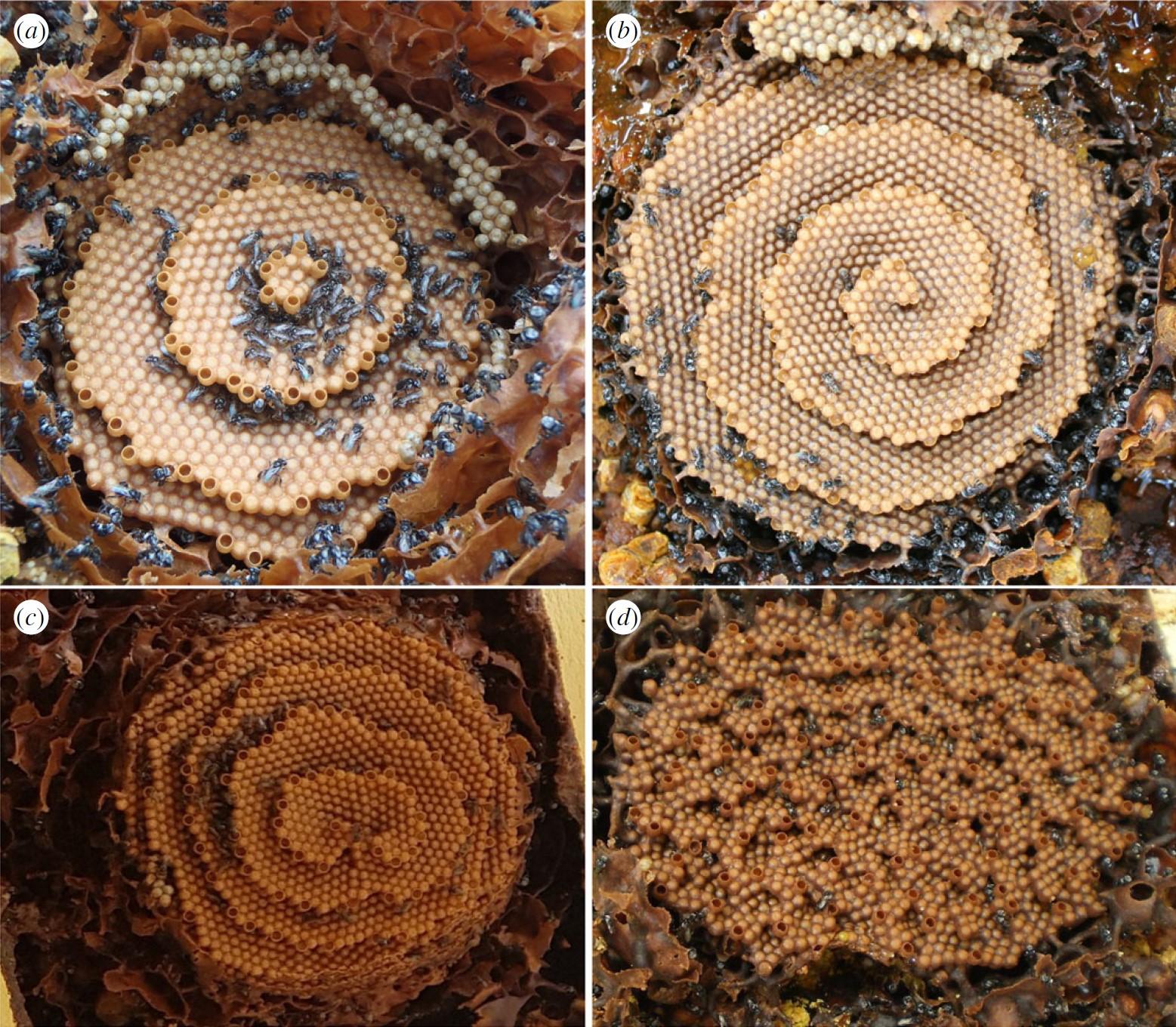 Desvelan qué patrones matemáticos siguen las abejas para fabricar sus perfectos panales