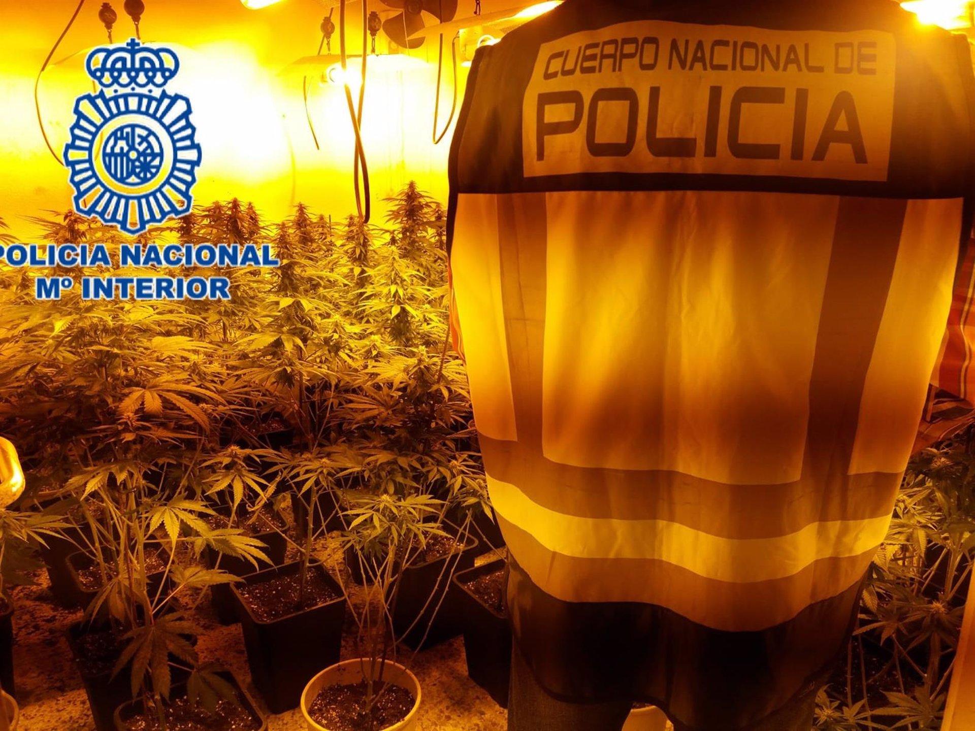 La policía incauta mil plantas de marihuana en un operativo contra la droga en Molino Nuevo