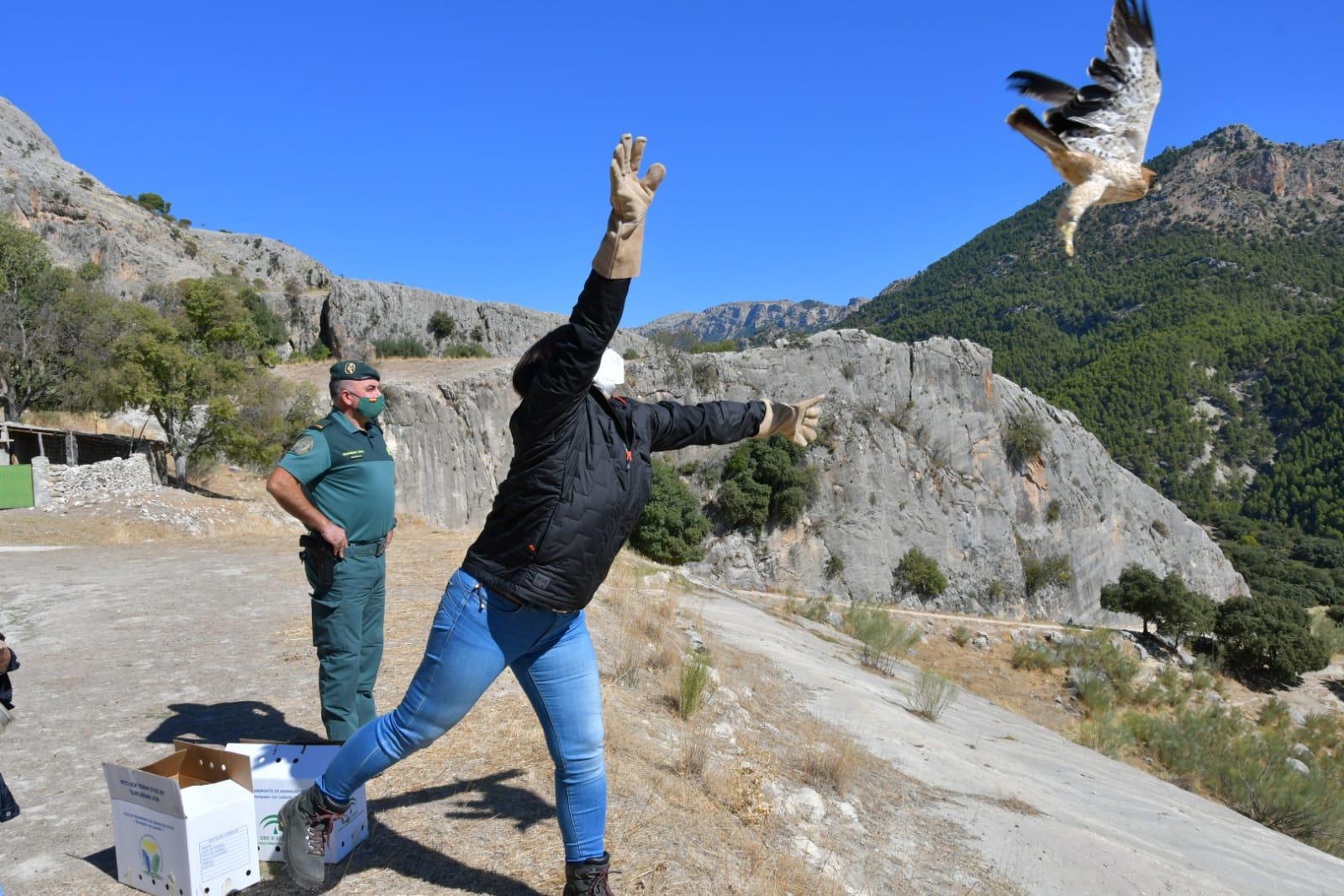 Liberan en la sierra de Castril dos ejemplares de águila calzada