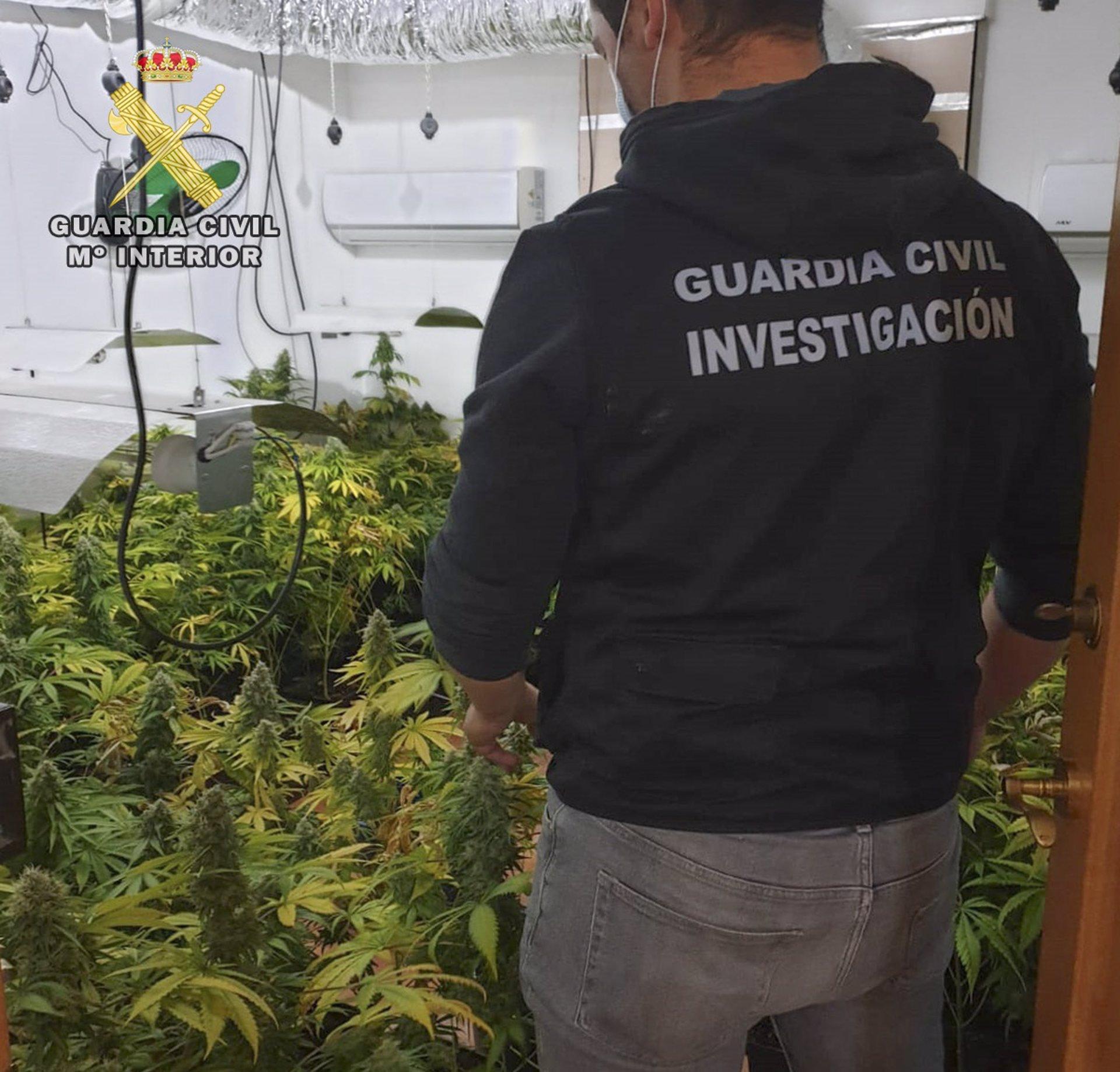 Desmantelan dos plantaciones de marihuana en Iznalloz y Santa Fe con 241 plantas