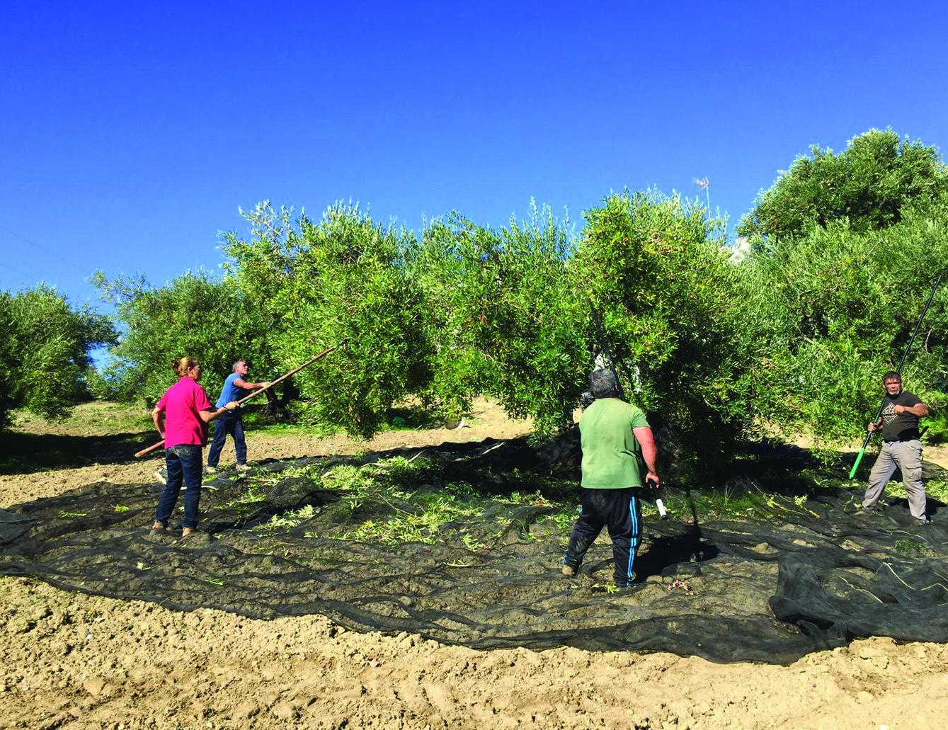 Investigan a un vecino de Algarinejo por el hurto de aperos para la recolección de aceituna