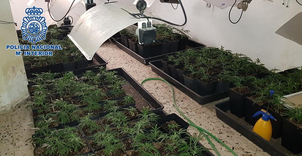 Incautan 710 plantas de marihuana en dos pisos del barrio del Zaidín y detienen al responsable