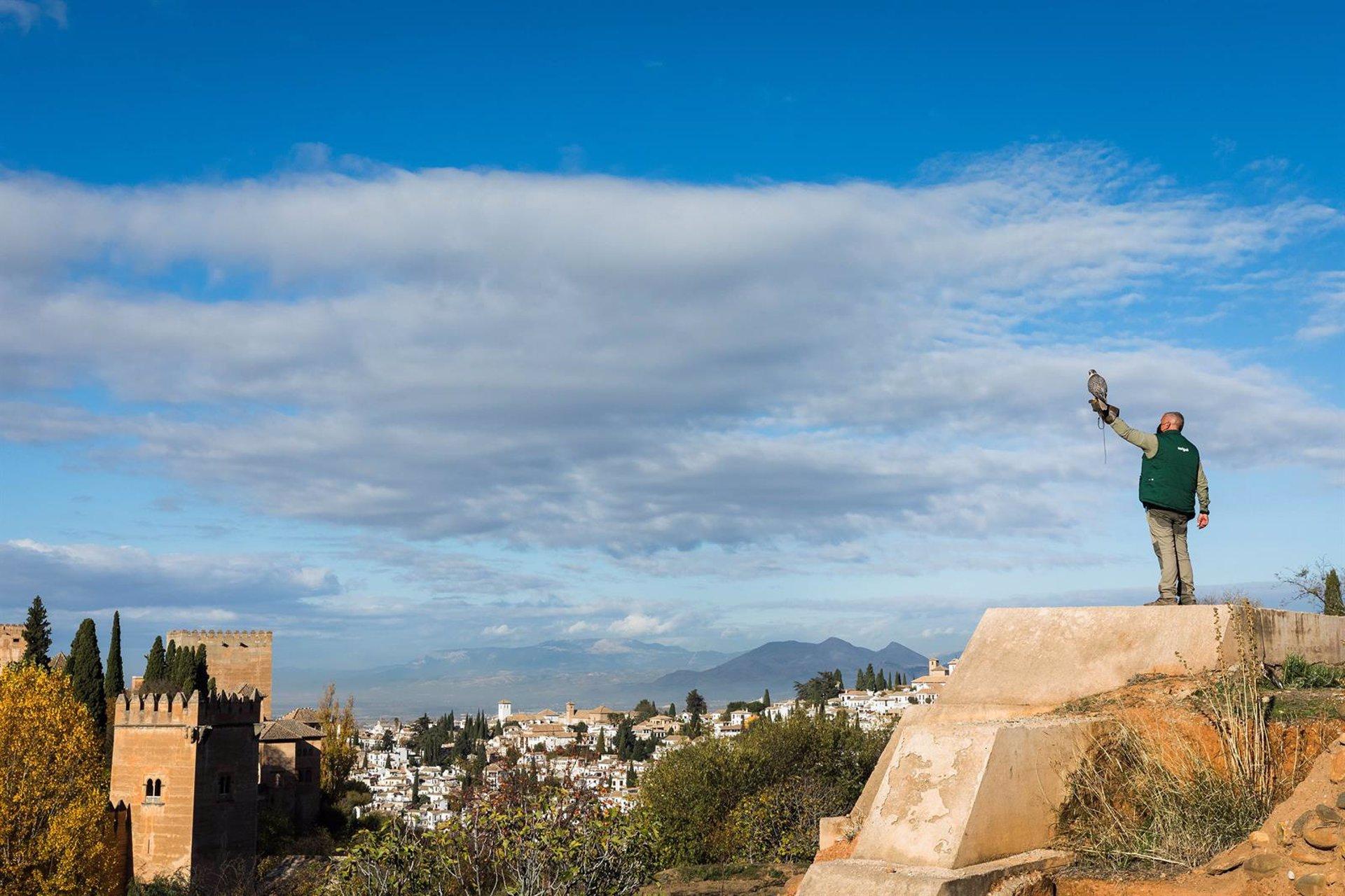 Dos aguilillas de Harris, un azor y dos halcones tratarán de mitigar la presencia de palomas en la Alhambra