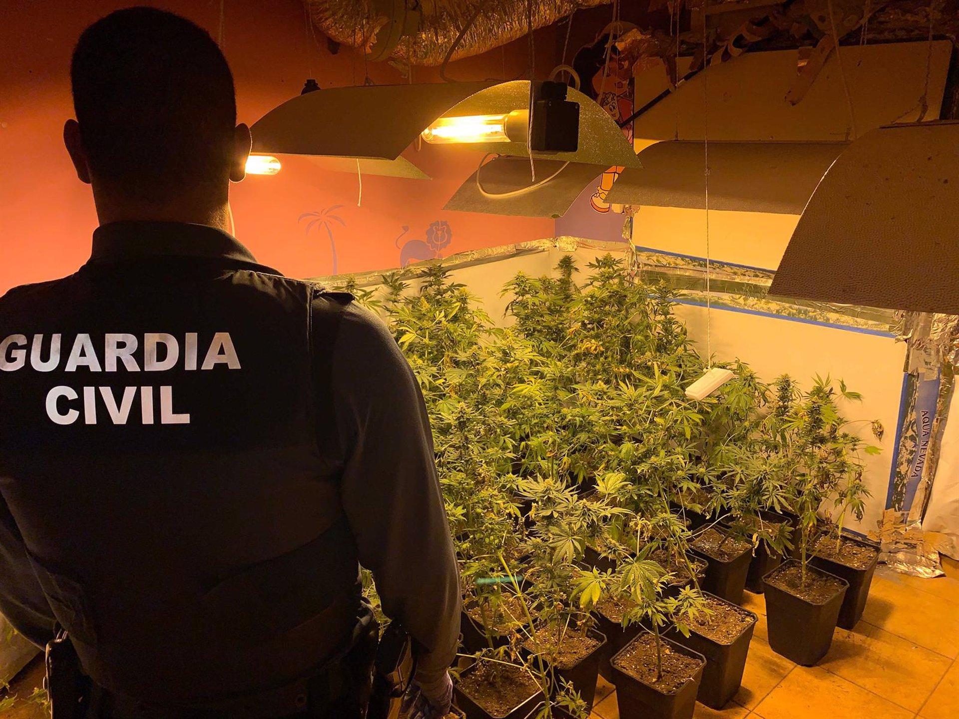 Descubierta una plantación de marihuana en un cortijo de la Alpujarra
