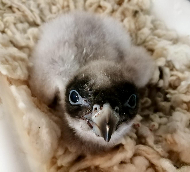 Nace la primera cría de quebrantahuesos del año en Andalucía