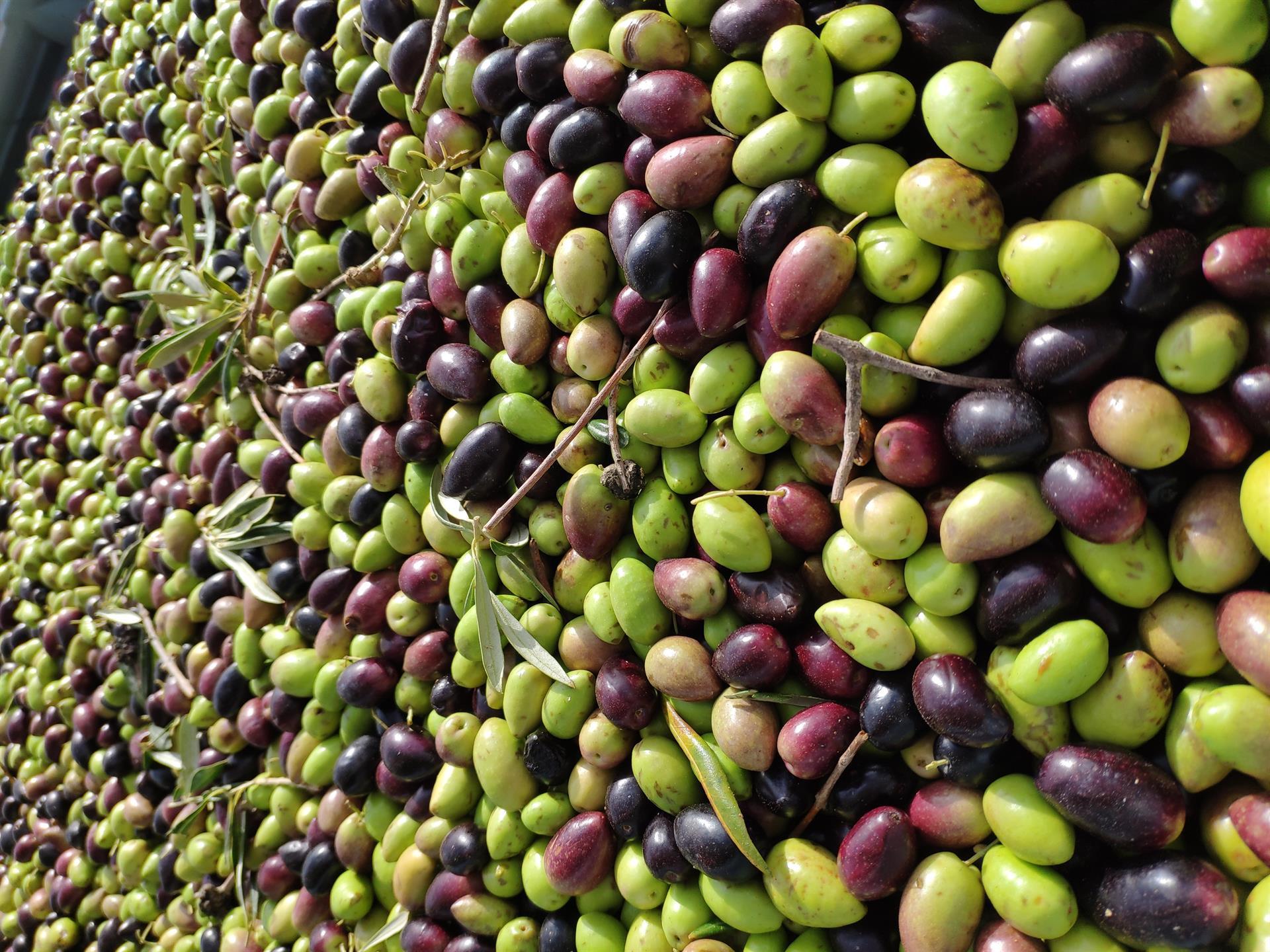 El sector del aceite de oliva aplaude la decisión de Consumo de excluirle del etiquetado NutriScore