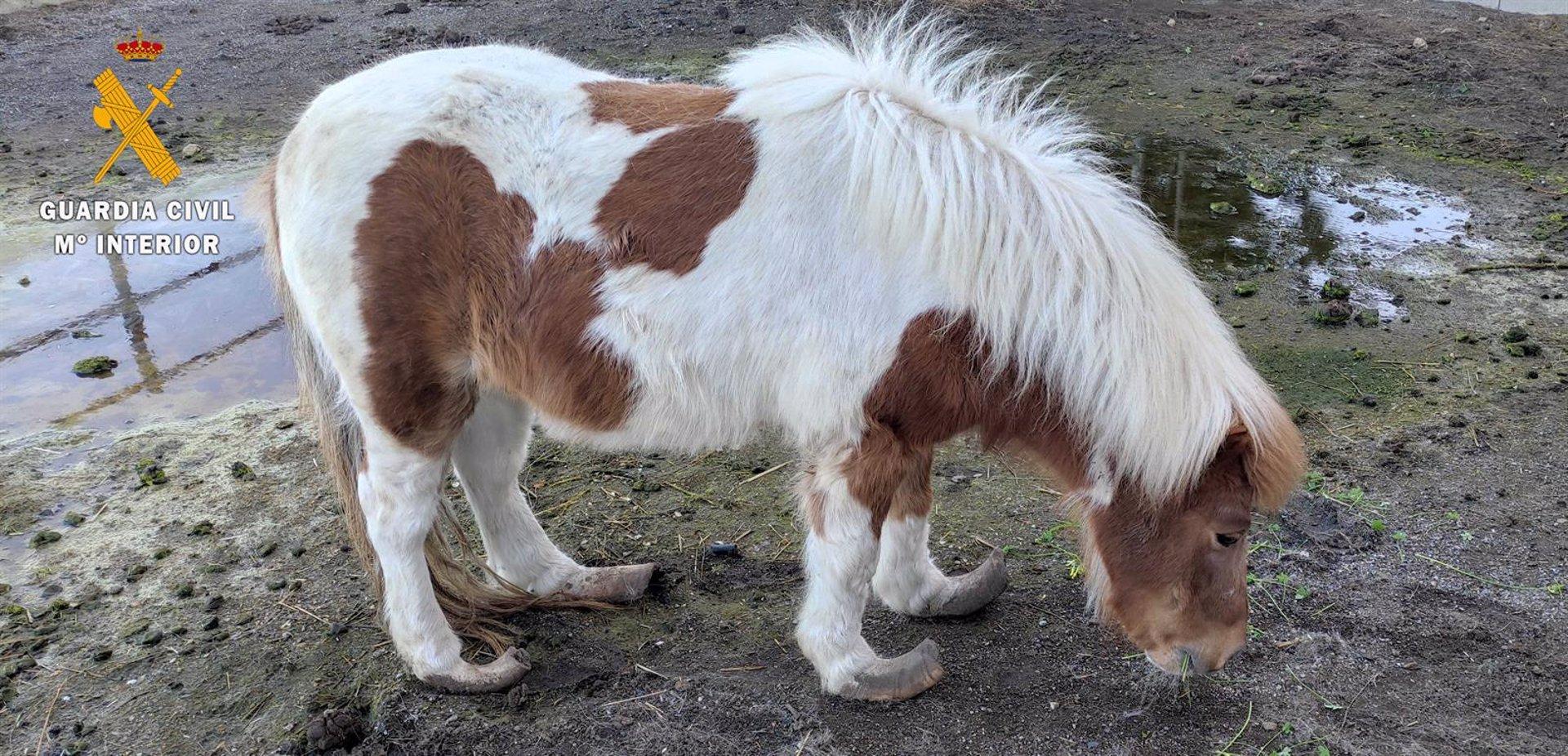 Investigado por maltrato a un poni que fue hallado con síntomas de abandono