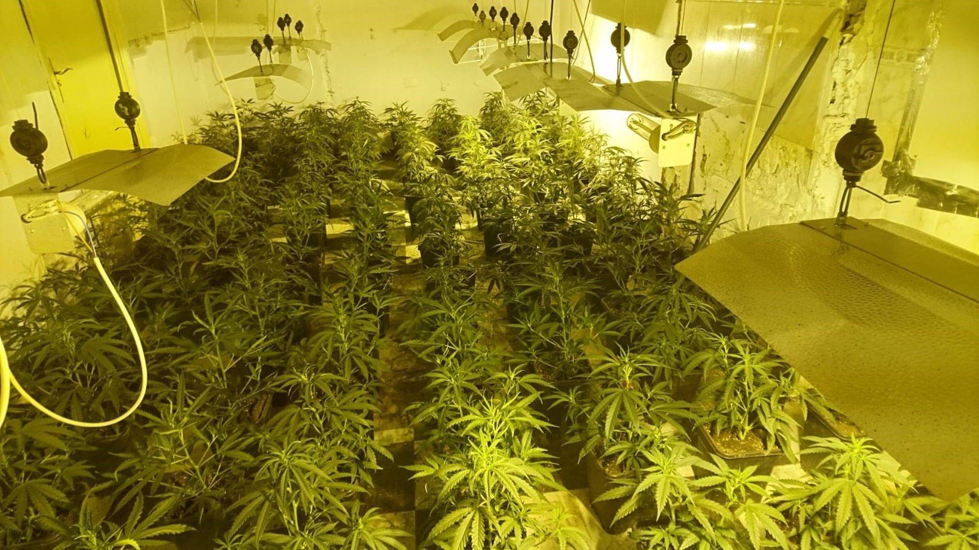 Intervienen más de 1.700 plantas de marihuana en tres registros en La Malahá, Cijuela y Moraleda
