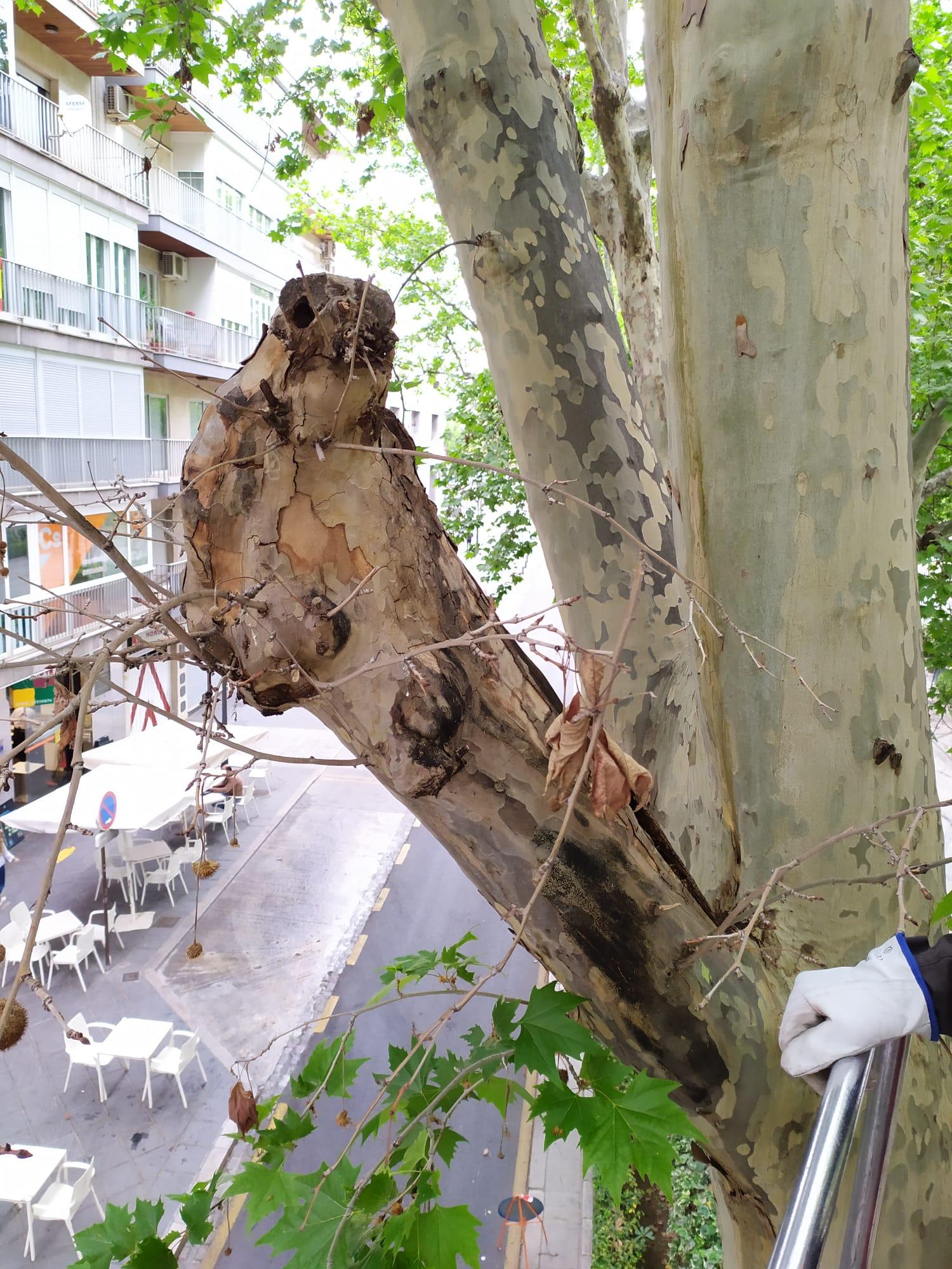 El Ayuntamiento revisa el estado de 200 árboles «ejemplares» del casco histórico de la ciudad