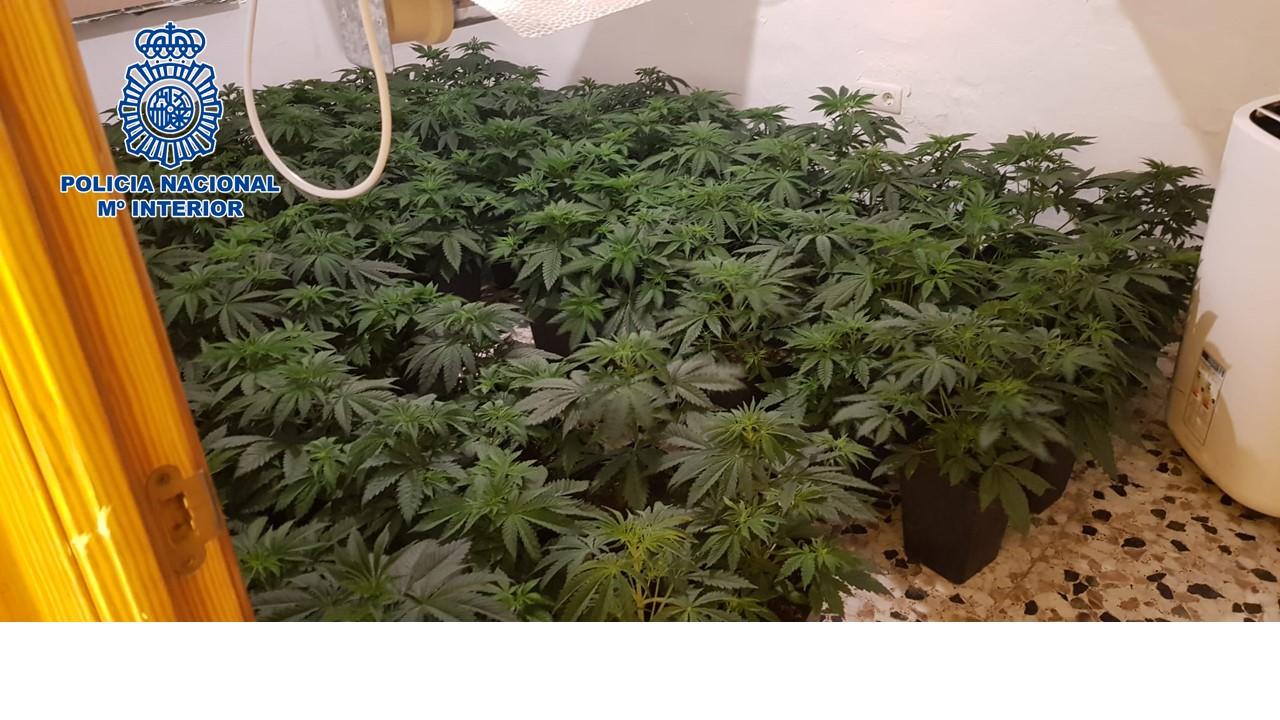 Desmanteladas otras tres plantaciones de marihuana a gran escala con más de 400 plantas incautadas