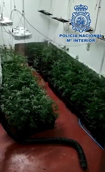 Desmantelado un punto de cultivo de marihuana con 600 plantas situado en dos habitaciones subterráneas