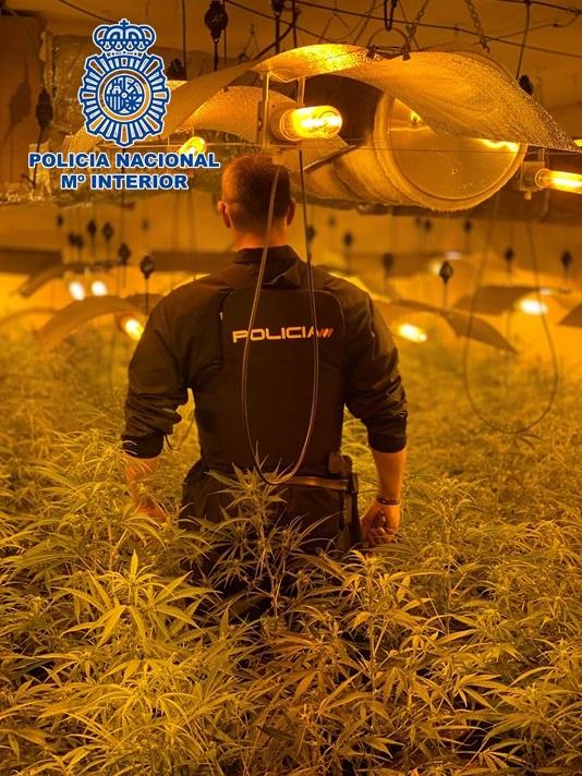 Localizan siete plantaciones de marihuana a gran escala en dos domicilios de la zona norte con 750 plantas