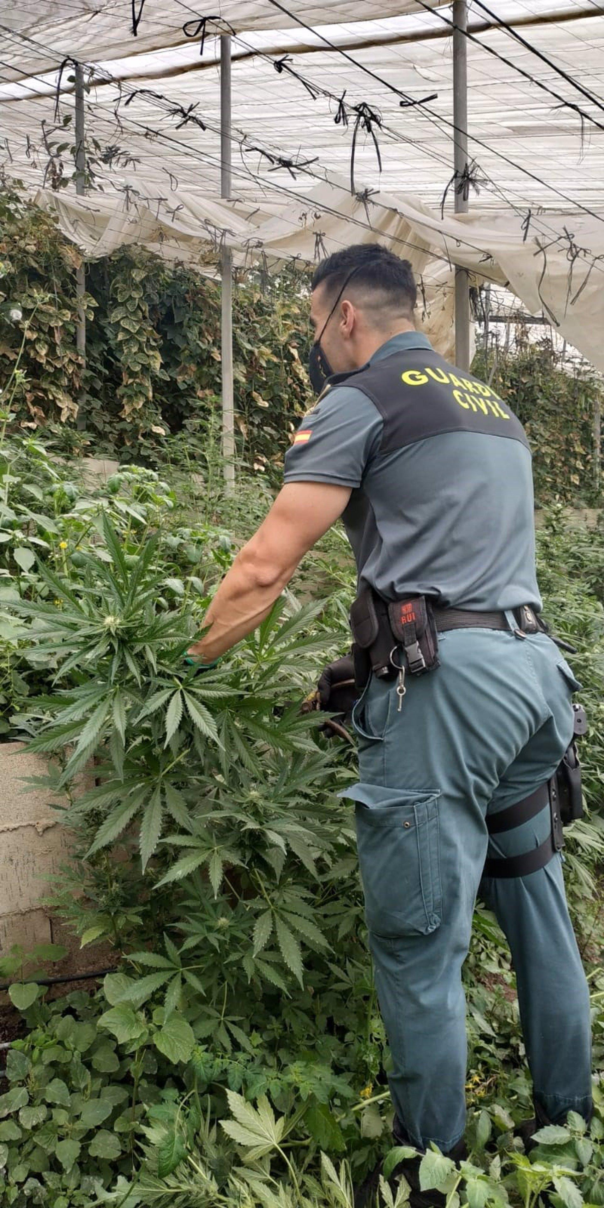 Localizadas casi 2.000 plantas de marihuana en dos invernaderos de Rubite y La Mamola