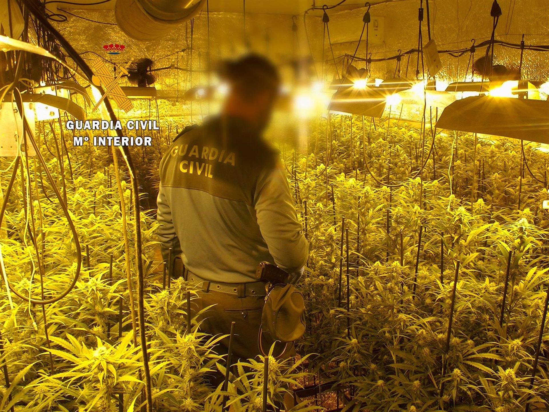 Intervenidas 431 plantas de marihuana en una vivienda y una nave de Atarfe