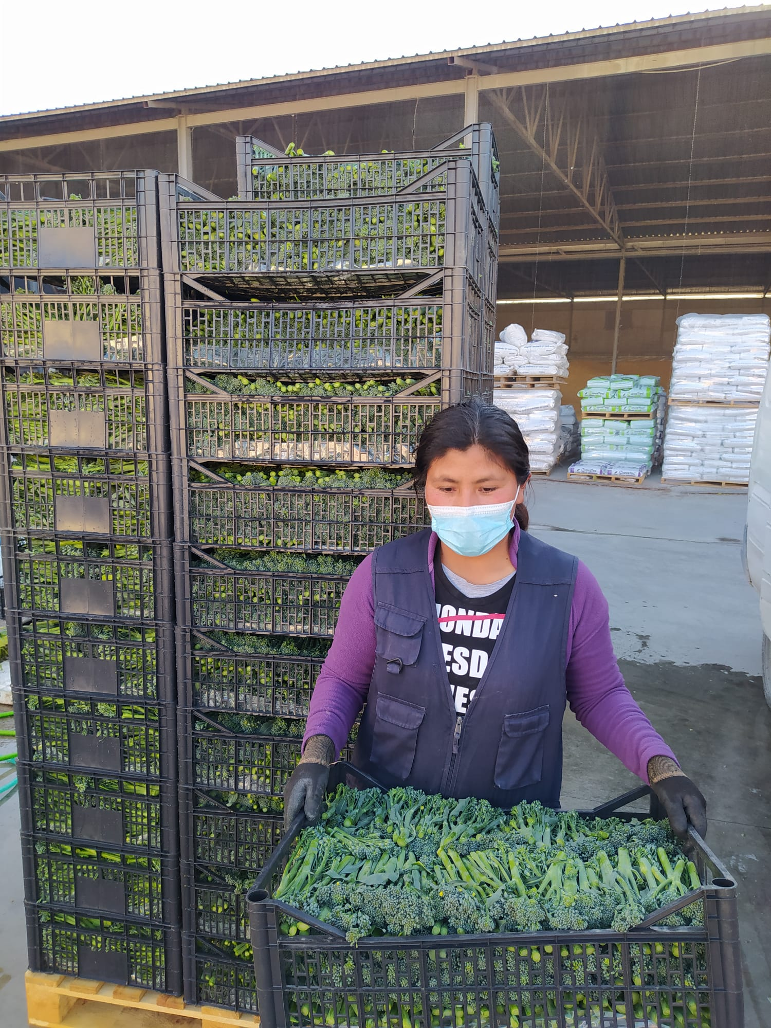 Agricultores de Vegas del Genil introducen el cultivo del bimi como alternativa al tabaco en la Vega de Granada