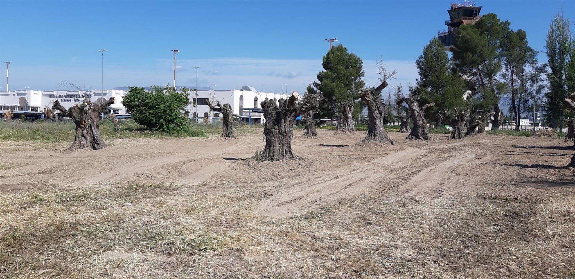 El aeropuerto se incorpora al proyecto 'La Huella Verde' y acoge la replantación de 20 ejemplares de olivo