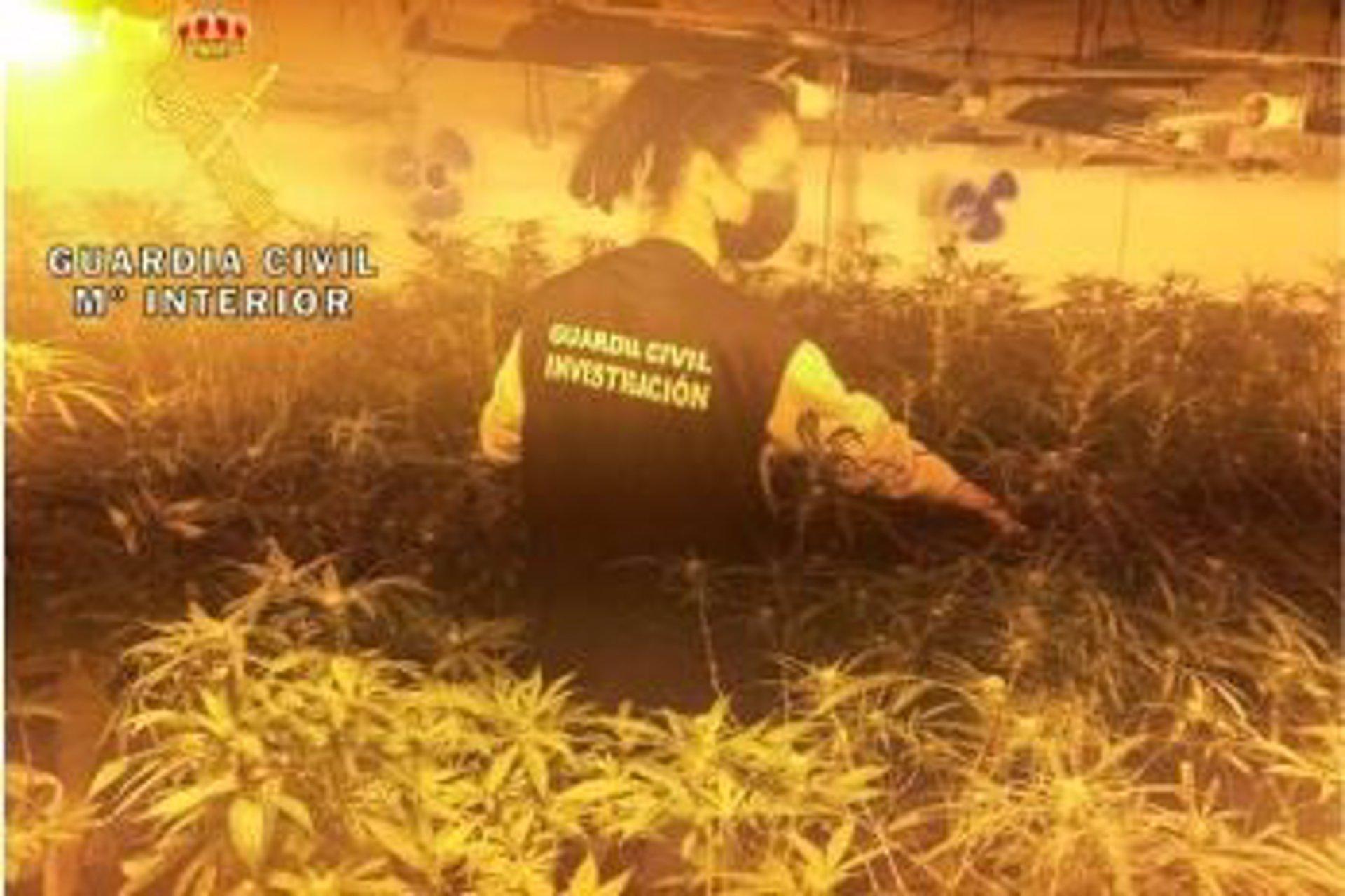 Intervenidas más de 1.900 plantas de marihuana en dos operaciones antidroga