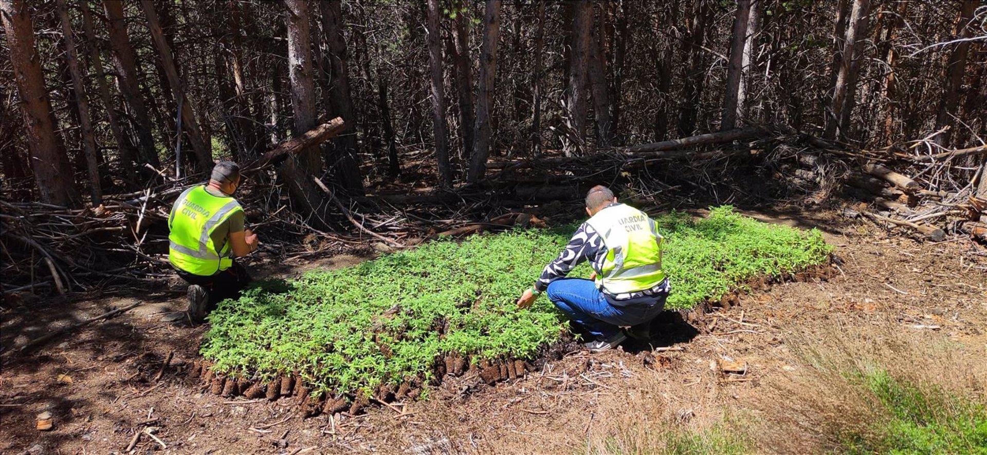 La Guardia Civil descubre 6.575 plantas de marihuana en la Sierra de Pórtugos