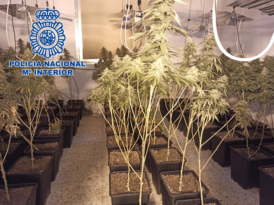"""La """"Operación Lea"""" localiza más de 400 plantas de marihuana en tres inmuebles y detienen al responsable"""