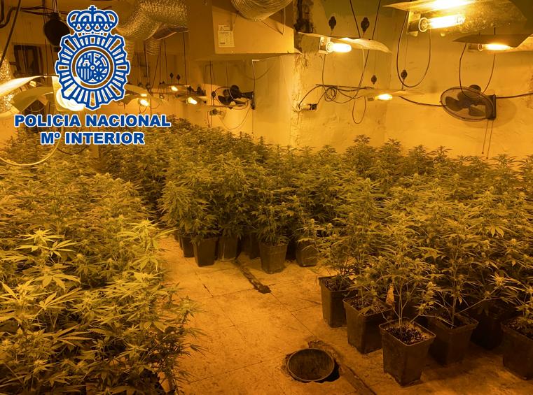 Incautan más de 1.500 plantas de marihuana, 2 Kilos de cogollos y 835 euros en metálico en Haza Grande y La Paz