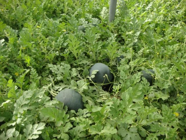 La Junta participa en un nuevo proyecto europeo de investigación de enfermedades en hortalizas