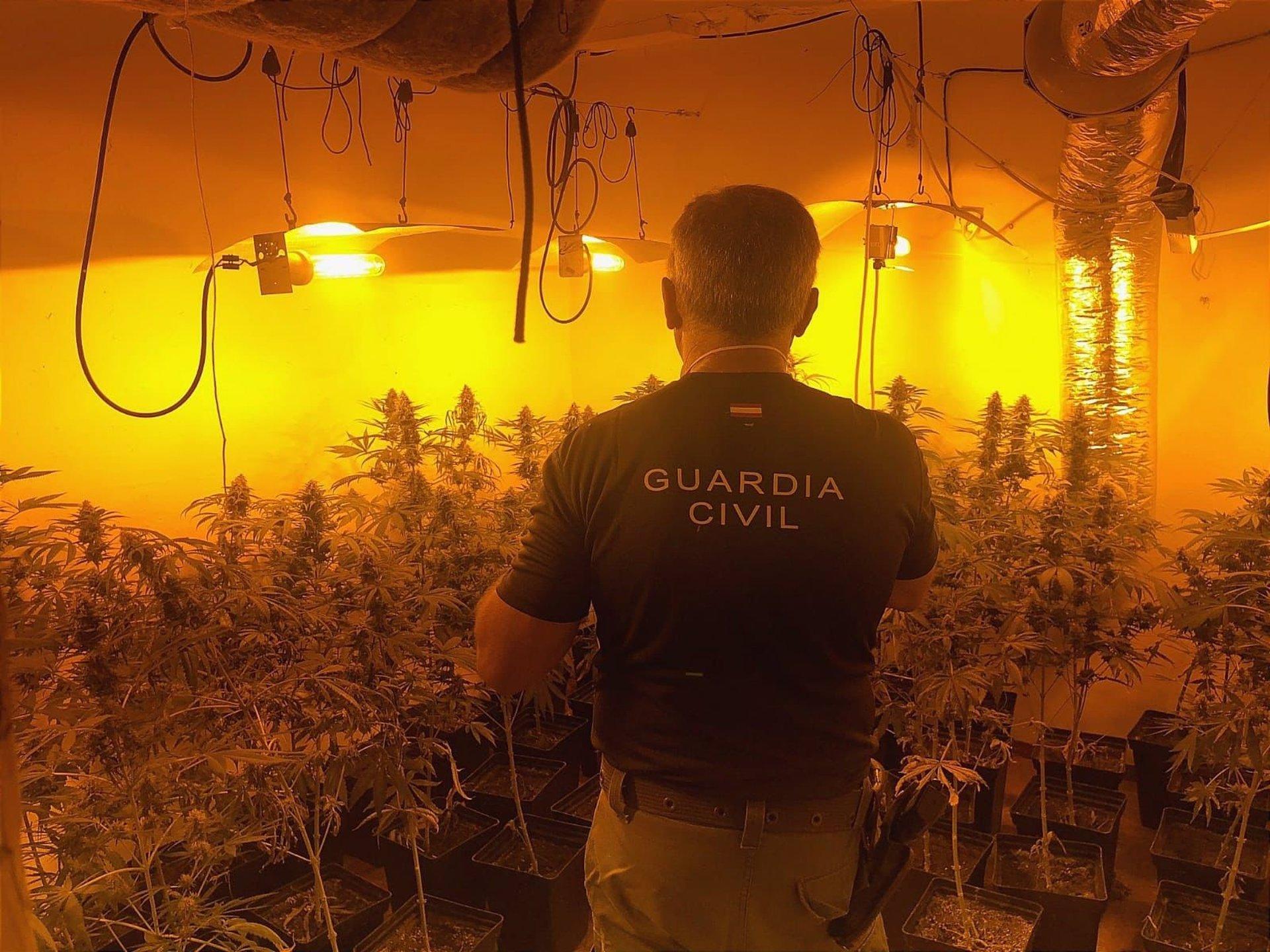 La Guardia Civil incauta 4.624 plantas de marihuana en nueve localidades y detiene a 18 personas