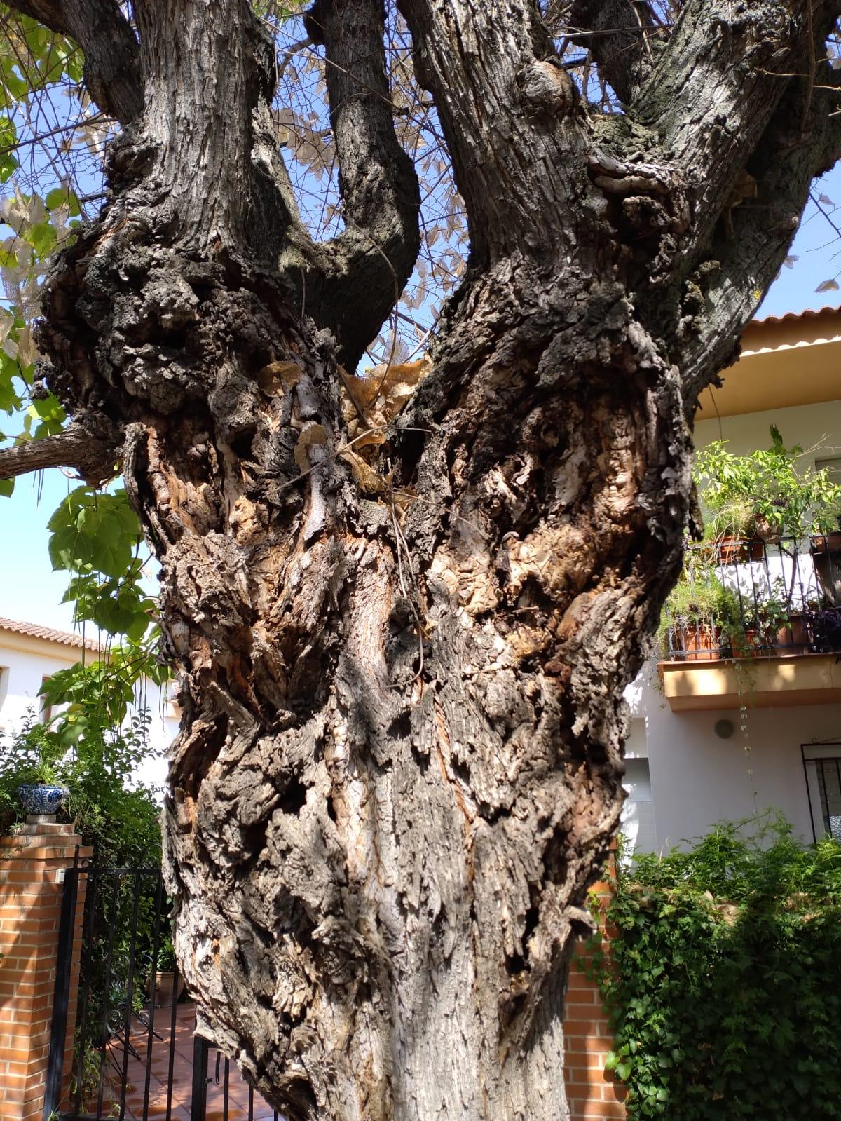 La Zubia sustituirá todos los árboles de la Avenida Genital afectados por una plaga de hongos