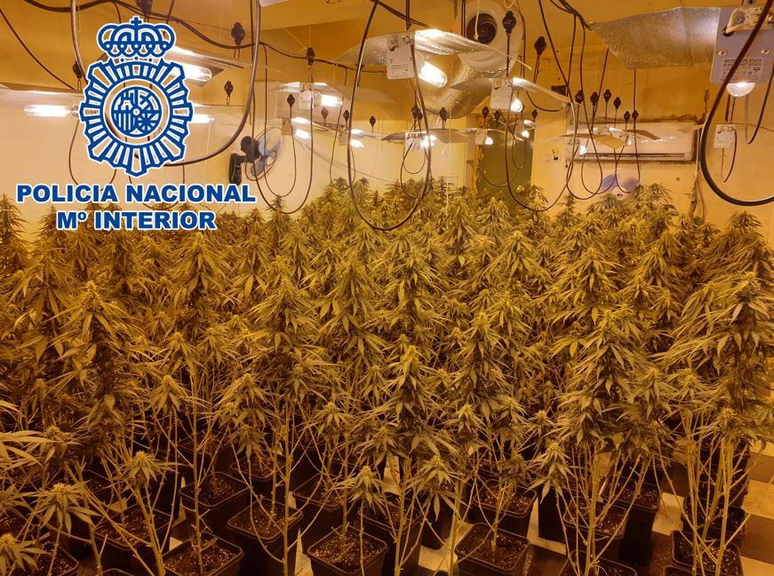 """La policía incauta más de 1.000 plantas de marihuana tras registrar seis inmuebles en el marco de la""""Operación Agosto"""""""
