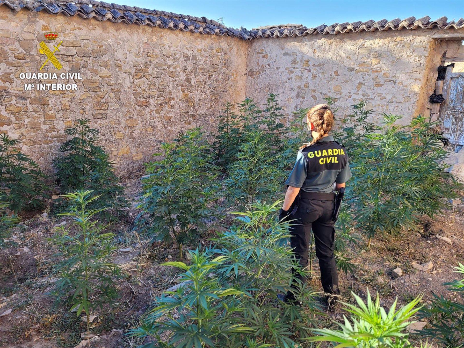 A disposición judicial tres personas por cultivar marihuana en Guadahortuna y Saleres