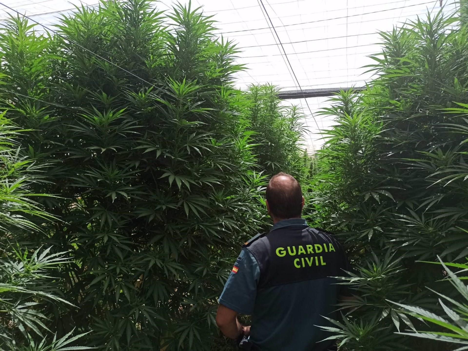 Localizada en Jayena una plantación de marihuana escondida en un invernadero entre plantas de maíz