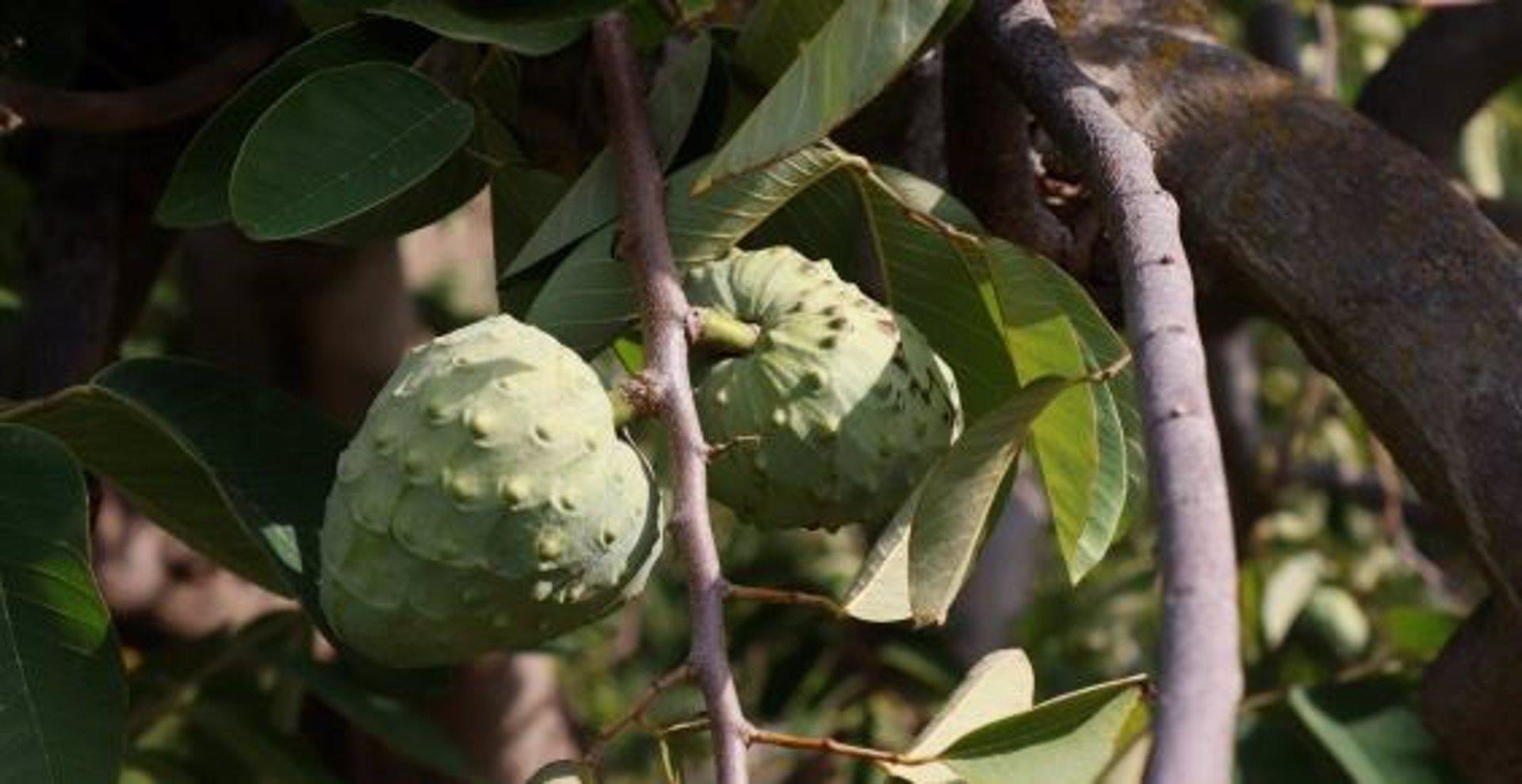 Investigado por el robo de 400 kilos de chirimoyas en una finca de Lobres, en Salobreña