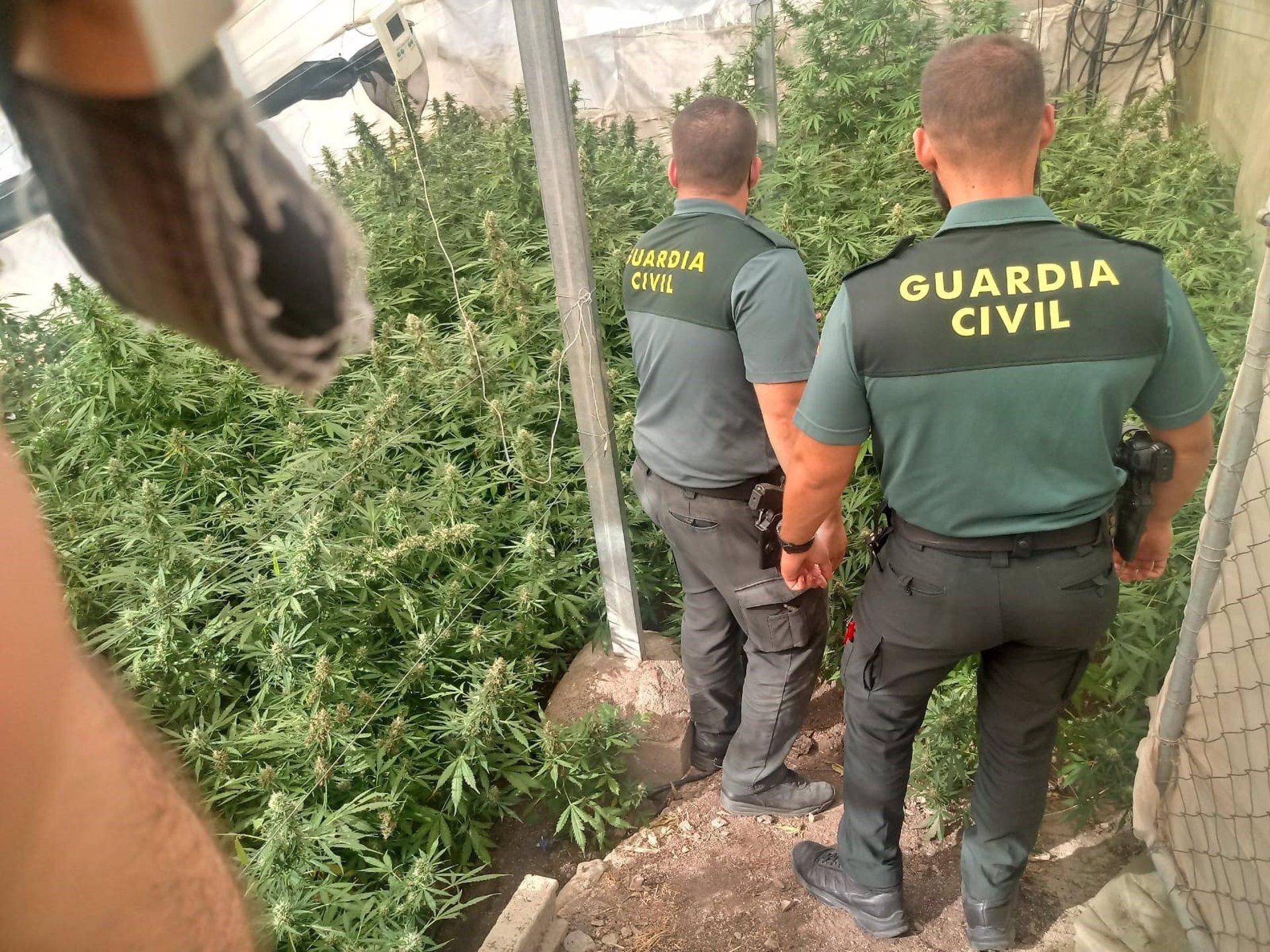 Detenidas ocho personas tras la incautación de casi 2.200 plantas de marihuana en varias localidades
